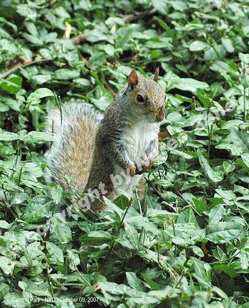 Scoiattolo a Central Park