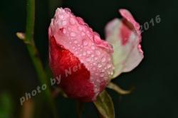 Bocolo con gocce di pioggia