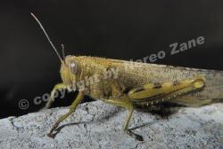 Grasshopper / Cavalletta