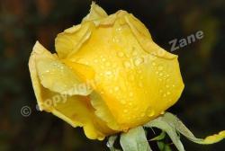 raindrops on buddyrose